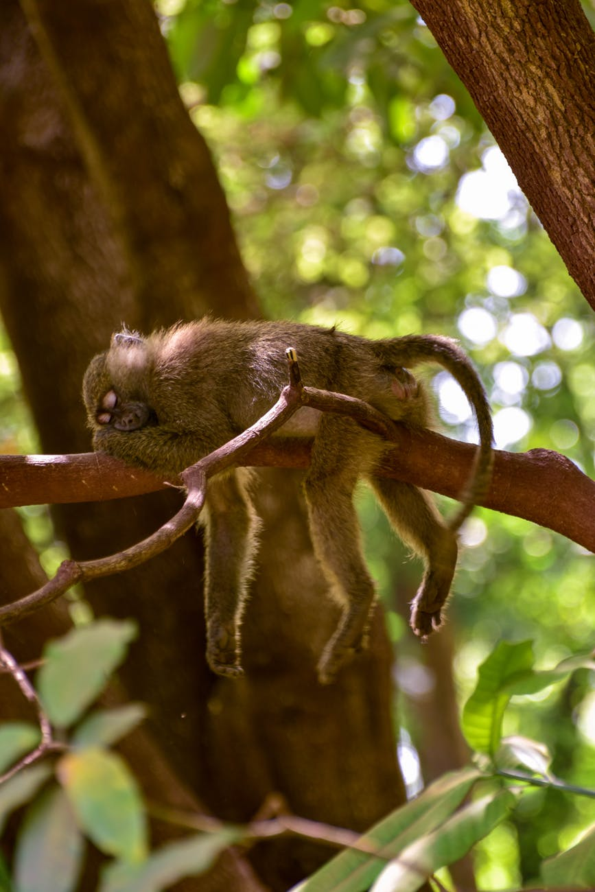 selective focus photography of sleeping monkey on branch