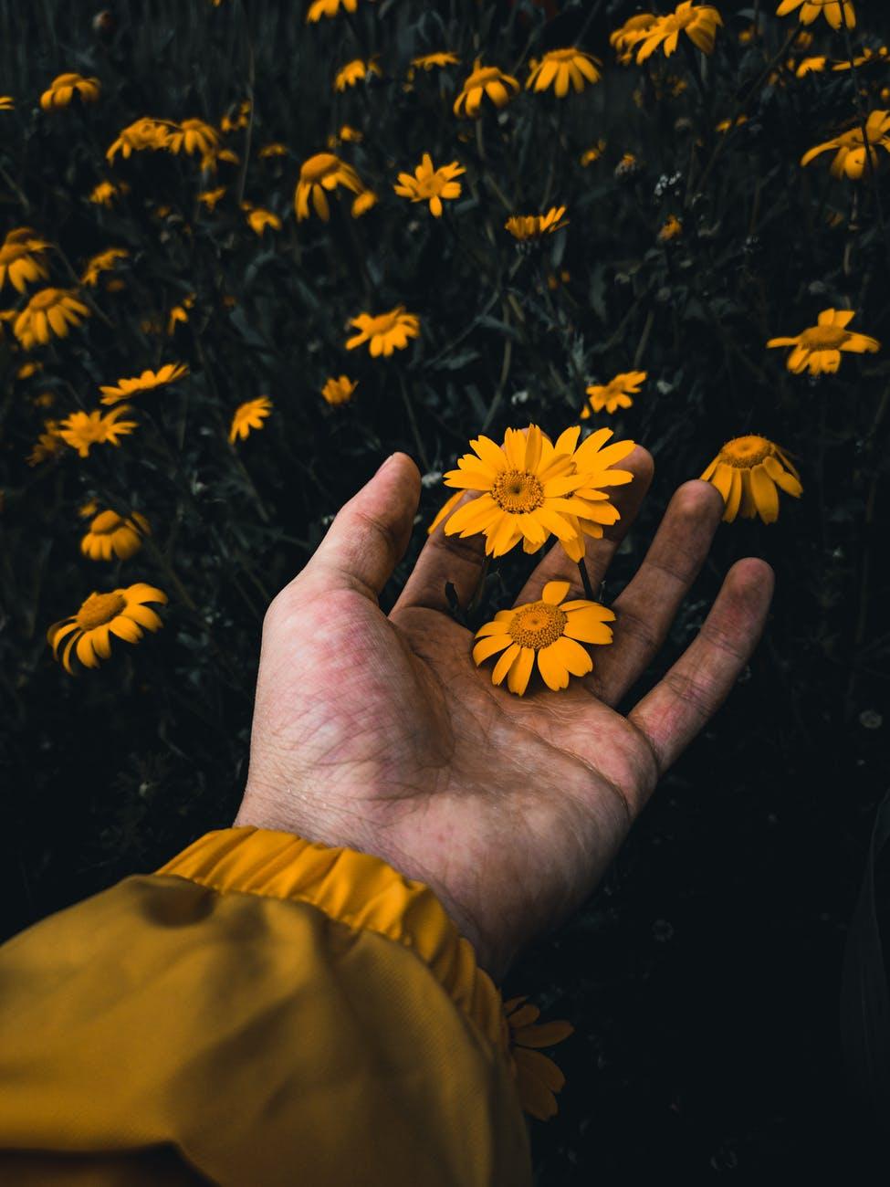 crop person touching yellow wildflowers in garden